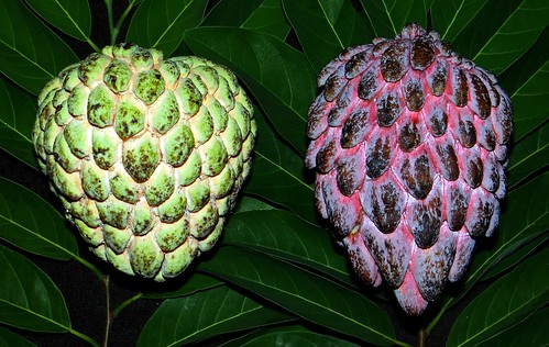Sugar Apple  #17: GREEN  #12  &  RED  #3  /   (Bangla = আতা)