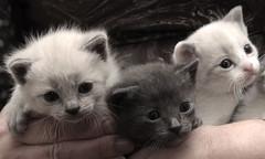 IMG_5763 (Pedro Montesinos Nieto) Tags: cat gatos animales fragile mascotas miradas laedaddelainocencia frgiles