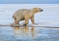 Kaktovic Polar Bear (MyKeyC) Tags: arctic polarbear polar polarbears kaktovik kaktovic wetpolarbear drippingpolarbear aaacolgetty aaacolkaktovik