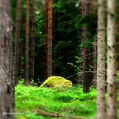 Magic (auntieblues) Tags: trees stone pine forest square squareforma