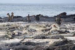 """_DSC6542  """"Marine Iguana"""" Iguana Marina and Flightless Cormorant Comoran no Volador (ChanHawkins) Tags: no area punta april 12 fernandina fri espinoza marineiguana marina pm cormorant volador galapagos iguana shoreline flightless comoran"""