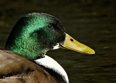 Mallard - Male (muppet1970) Tags: male bird water duck mallard christchurchpark