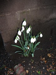 Blackheath already spring flowers! (Julie70 Joyoflife) Tags: flowers london spring fevrier photostroll photojuliekertesz midfebruary springwalksinlondon springflowersinfebruary