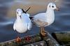 BLACK HEADED GULLS (chris .p) Tags: winter england birds nikon gull gulls gloucestershire wetlands gb february wwt slimbridge 2014 d7000 mygearandme