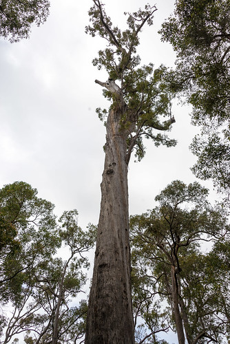 The King Jarrah tree near Manjimup, WA.