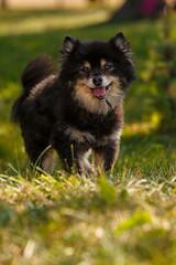 Bear 09_12 b (giffydog1) Tags: bear dog animal cheryl pomeranian barbaraobrien
