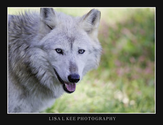 """Blue Eyed Beauty"" (Lisa L Kee Photography) Tags: nature wolf wildlife blueeyes naturallight 500mm wolves whitewolf wildlifeprairiestatepark 500mmf45 canon7d lisalkee lisalkeephotography canon500mmf45"
