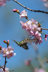 Hummingbird20140308_0011 (Tajji101) Tags: flower bird nature birds animal nikon hummingbird feeding outdoor hummingbirds orangecounty hummer flap huntingtonbeach humming smallest bif trochilidae