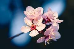 Spring Blossoms (Bryan Nabong) Tags: flowers flower macro season spring bloom cherryblossom sakura lumoidspring
