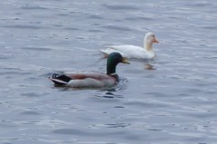 Ducks - Seneca State Park (d1pinklady) Tags: park usa lake tree turkey state ducks maryland vulture seneca midatlantic