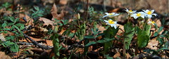 Forest floor (RPahre) Tags: robertallertonpark allerton universityofillinois illinois bloodroot wildflowers spring robertpahrephotography copyrighted donotusewithoutwrittenpermission
