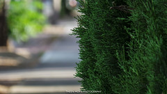 20131201_183147.jpg (Theen ... busy) Tags: christmas tree green last bokeh samsung fir merry footpath theen