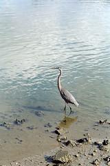 Great Blue Heron, St Augustine (StevenM_61) Tags: bird heron water bay rocks mud florida lagoon staugustine greatblueheron