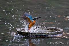 _69Q1074 (jojotaikoyaro) Tags: bird animal japan canon tokyo kingfisher  nerima    musashiseki 1dx 400mmf28l2