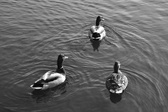 image (Eva O'Brien) Tags: park flowers chicago flower bird birds duck humboldt spring nikon ukrainianvillage ducks humboldtpark d3100 nikond3100 evacares evaobrien