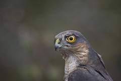 birds nikon wildlife jacob birdsofprey sparrowhawk ringing spinks 2015 kelmarsh nikonlens nikond7100