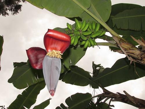 Bananier, Kenya