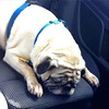 Awe bubos. Look guilty while riding in my car. #pug #puglife #dogsofinstagram (ClevrCat) Tags: look car pug riding while awe guilty puglife bubos instagram ifttt dogsofinstagram