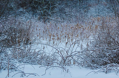 Snow on rushes