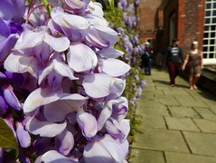 Wisteria Walk (heathernewman) Tags: uk summer england people urban plant flower macro building london nature sunshine closeup purple blossom paving figures hamptoncourt wisteria