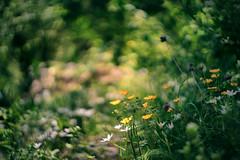 Carl Zeiss Jena Biotar 58mm f2 M42 (Sorin Mutu) Tags: flower nature zeiss bokeh jena carl m42 f2 58mm biotar