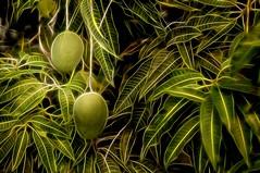 Mango's I... (Jos Pestana) Tags: naturaleza verde green southamerica nature fruit america neon venezuela sony natura mango amerika suramerica nen airelibre fruto  indalo sudamrica suramrica amricadelsur tabiat americadelsur venecuela  venetsueela americaamrica  eli iseda  amrika venezyela dabeecadda sonynex  sonynex6  jospestana    venezwela venetiola toetra