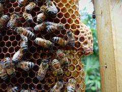 Queen cell (alansurfin) Tags: abejas bees cell queen peanut regina honeycomb comb abeilles beekeeping apis bienen honeybees apismellifera aperegina