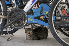 160526 - Drools (y_leong23) Tags: cat dlux