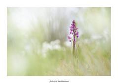 Orchis laxiflora (bertholino fabrice) Tags: macro nature fleur nikon wildlife proxy environnement orchide fleursauvage macrophotographie orchislaxiflora biodiversit nikond600 proxyphotographie orchidesauvage capturenx2 photorapproche sigma105macrooshsm fabricebertholino