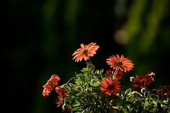 daisies catch the sun (peet-astn) Tags: light orange flower contrast flora backlit africandaisy arctotis
