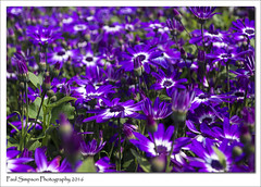 A Mass of Colour (Paul Simpson Photography) Tags: flowers blue summer england plant flower color nature leaves petals colorful purple flowerbed colourful naturalworld naturephotography senetti photosof imageof flowerphotography photoof barrowuponhumber imagesof photosofflowers photosofnature summer2016 sonya77 paulsimpsonphotography june2016