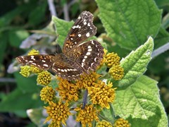 Anthanassa texana (carlos mancilla) Tags: insectos butterflies mariposas anthanassatexana olympussp570uz