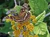 Anthanassa texana texana (W. H. Edwards, 1863) (carlos mancilla) Tags: insectos mariposas butterflies olympussp570uz anthanassatexanatexanawhedwards1863 anthanassatexanatexana tejanamedialuna texancrescent nymphalidae nymphalinae