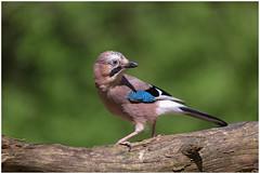 Jay - Vlaamse Gaai  (Garrulus glandarius) (Martha de Jong-Lantink) Tags: jay vogels vogel 2016 garrulusglandarius vlaamsegaai eichelhäher fotohutgooi schreeuwekster eurasiangaai