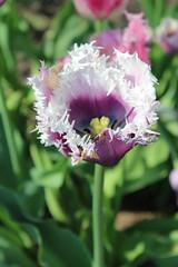 Purple Ragged Edge Tulip (jmaxtours) Tags: toronto ontario gardens purple tulip torontoontario tbg raggededge torontobotanicalgarden raggededgetulip purpleraggededgetulip