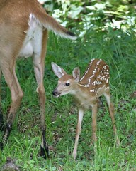 Doe with Fawn (dbadair) Tags: baby deer fawn hogtown fl florida 2016 white tailed fawns cute whitetail 7d2 7dm2