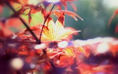 Just Leaves - HMM! (ursulamller900) Tags: maple ahorn justleaves macromondays pentacon28100