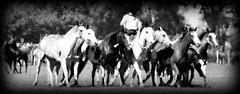 Muchos overos (Eduardo Amorim) Tags: horses horse southamerica argentina criollo caballo cheval caballos cavalos pferde herd cavalli cavallo cavalo gauchos pferd ayacucho chevaux gaucho cavall  amricadosul gacho amriquedusud provinciadebuenosaires  gachos  sudamrica suramrica amricadelsur sdamerika crioulo caballoscriollos criollos  tropillas buenosairesprovince americadelsud tropilhas tropilla crioulos cavalocrioulo americameridionale tropilha caballocriollo eduardoamorim cavaloscrioulos