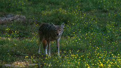 Coyote of Caves Cove (TGB Filmography) Tags: coyote nature yellow landscape outdoors nationalpark tennessee wildlife southern smokymountains k9 cadescove southeastern thegreatsmokymountains