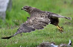 Take off (Pole Den) Tags: food rabbit feet wings eyes flight beak feathers off take prey carrion talons