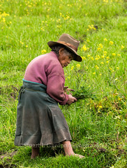 Elderly Quechuan Woman in Her Garden, Peru (chasingthelight10) Tags: travel people peru nature photography landscapes countryside events lakes places things villages sacredvalleyoftheincas potatofield pachamanca otherkeywords piuraylake elderlyperuvianfarmlady