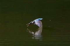 カワセミ (Y.K.swimmer) Tags: bird japan canon kyoto 京都 鳥