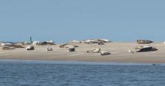 Lying around (BlossomField) Tags: sea water deutschland seal deu sandbank borkum niedersachsen