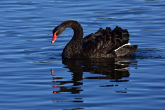 Black Swan (Luke6876) Tags: reflection bird animal swan wildlife blackswan australianwildlife