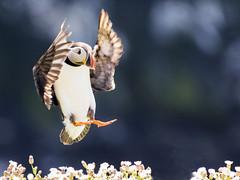 Incoming!!!! (coopsphotomad) Tags: sea bird nature wildlife flight landing puffin seabird birdinflight seacampion