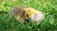 Shhh...baby sleeping (Shannon Rose O'Shea) Tags: york sleeping baby green nature grass canon duck flickr pennsylvania wildlife beak feathers goose gosling waterfowl canadagoose canon100400mm14556lis t6i shannonroseoshea kiwanislakerookery wwwflickrcomphotosshannonroseoshea canonrebelt6i canoneost6i canont6i eost6i canoneosrebelt6i shannonosheawildlifephotography rebelt6i shannonoshea eosrebelt6i