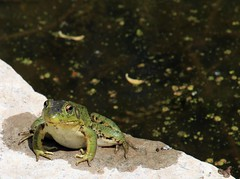 Hi there (Joanna Kurowski Photography) Tags: green water animals canon frog amphibians staring hithere joannakphotos
