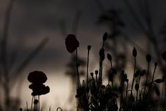 Ombres de coquelicots (francoissueur) Tags: flowers france backlight fleurs contrejour