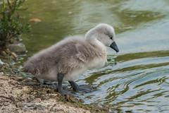 cygnet (debraflynnphotography) Tags: birds sussex chicks wildfowl wwtarundel
