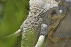Elphant d'Afrique (Michel Seguret Thanks all for 8.400 000 views) Tags: park wild elephant france animal animals nikon reserve pro animaux aude parc tier elefante d800 afrique sauvage elefanten africaine sigean pachyderme michelseguret